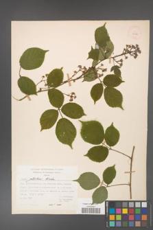 Rubus guentheri [KOR 23488]