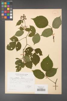 Rubus guentheri [KOR 23465]