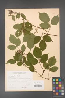 Rubus guentheri [KOR 23490]