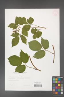 Rubus guentheri [KOR 32268]