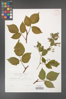 Rubus guentheri [KOR 32286]