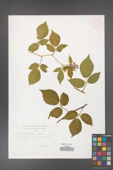 Rubus guentheri [KOR 32287]