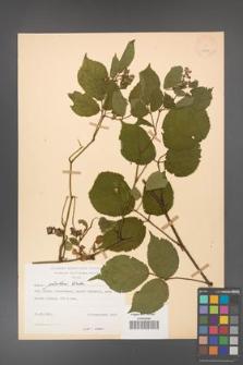 Rubus guentheri [KOR 23491]