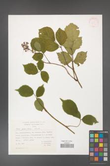 Rubus guentheri [KOR 31406]