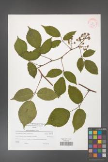 Rubus guentheri [KOR 38944]