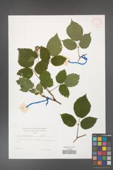 Rubus guentheri [KOR 32270]