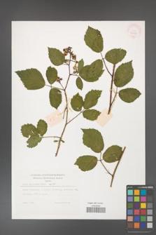 Rubus guentheri [KOR 32267]