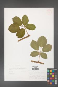 Rubus henrici-egonis [KOR 33230]