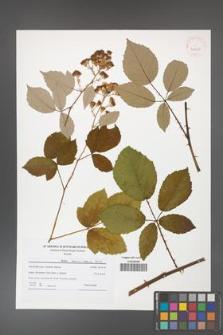 Rubus henrici-egonis [KOR 41510]