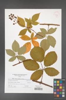 Rubus henrici-egonis [KOR 41514]