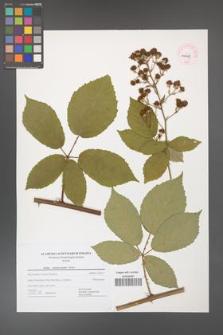 Rubus henrici-egonis [KOR 44487]