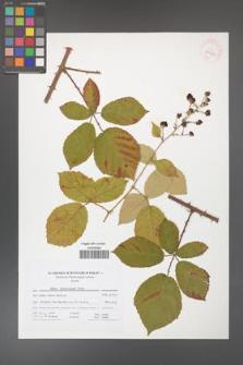 Rubus henrici-egonis [KOR 41710]