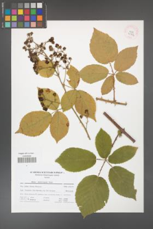 Rubus henrici-egonis [KOR 41712]