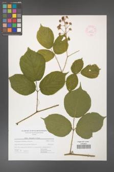 Rubus hercynicus [KOR 44464]