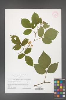 Rubus hercynicus [KOR 44561]