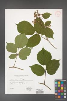 Rubus hercynicus [KOR 39959]