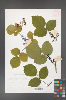 Rubus hercynicus [KOR 30042]