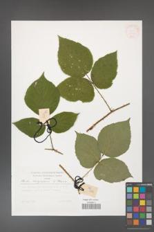 Rubus hercynicus [KOR 30041]