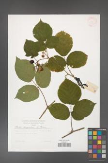 Rubus hercynicus [KOR 30040]