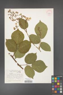 Rubus hercynicus [KOR 40500]