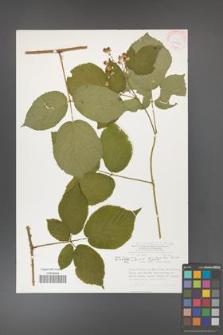 Rubus hercynicus [KOR 30047]