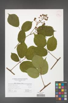 Rubus hercynicus [KOR 42710]