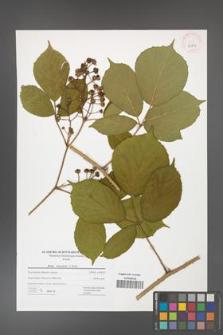 Rubus hercynicus [KOR 42804]