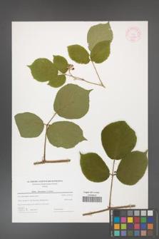 Rubus hercynicus [KOR 44349]