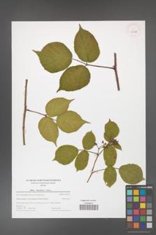 Rubus hercynicus [KOR 43998]