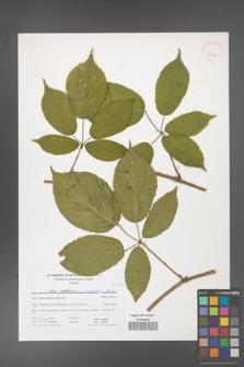 Rubus holzfussii [KOR 41716]