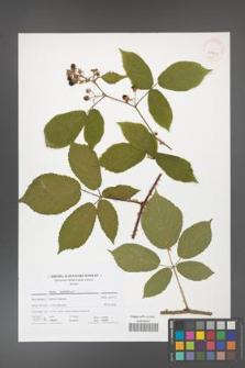 Rubus holzfussii [KOR 41701]