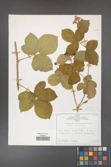 Rubus hevellicus [KOR 50706]