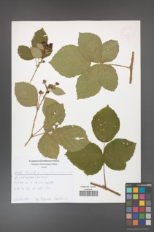 Rubus hevellicus [KOR 52576]