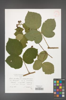 Rubus hevellicus [KOR 38321]