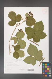 Rubus hevellicus [KOR 32887]