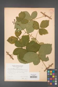 Rubus hevellicus [KOR 31034]