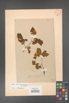 Rubus hevellicus [KOR 60a]