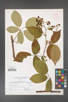 Rubus henrici-egonis [KOR 44469]