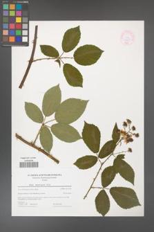 Rubus henrici-egonis [KOR 44604]