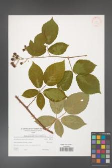 Rubus henrici-egonis [KOR 38873]