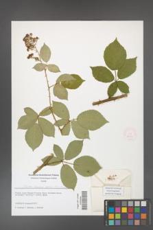 Rubus henrici-egonis [KOR 51653]