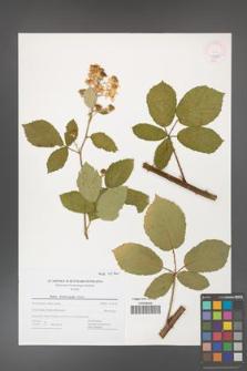 Rubus henrici-egonis [KOR 43700]
