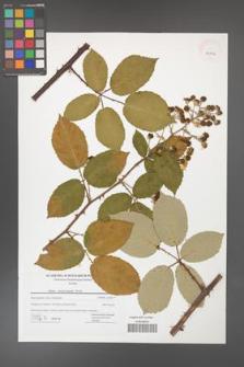Rubus henrici-egonis [KOR 42756]