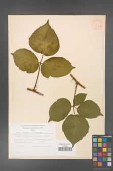 Rubus hirtus [KOR 31250a]