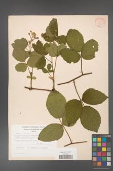 Rubus hirtus [KOR 31293]