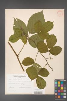 Rubus hirtus [KOR 31291]