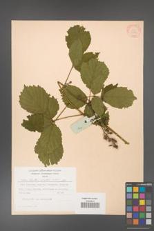 Rubus hirtus [KOR 31289]