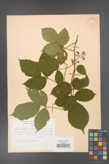 Rubus hirtus [KOR 31290]