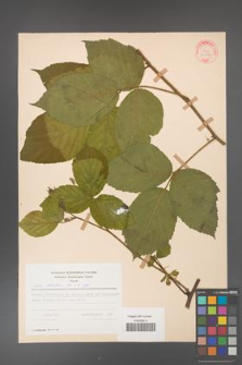 Rubus hirtus [KOR 31287]
