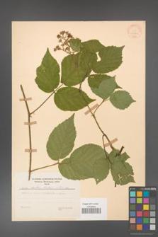 Rubus hirtus [KOR 31261]